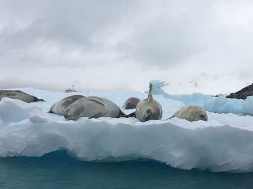 Crab eater seals chilling out on some ice