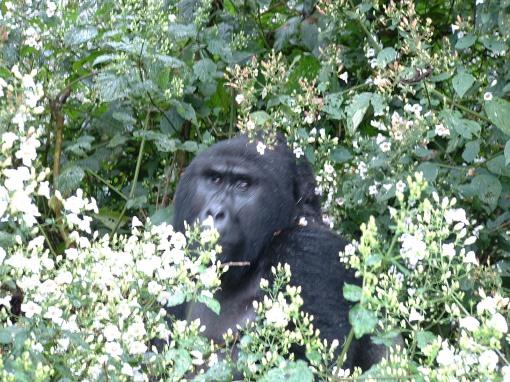 Uganda gorillas DSCF0018