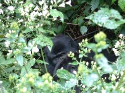 Uganda gorillas DSCF0020